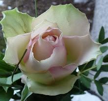 Eine Rose als Dank
