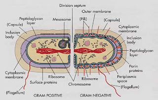 Microbiology new discoveries classification of bacteria according cell wall accounts for 10 40 of dry weight of the cellon the basis of composition bacteria can be divided into two major groups ieam positive and ccuart Image collections