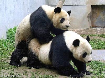 panda500_500.jpg