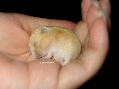 http://3.bp.blogspot.com/_KKbH7vPgIZI/RoZHQedRZmI/AAAAAAAAAeA/Z5leEJ_hTiA/s400/baby-hamster-pudding-sleeping.jpg