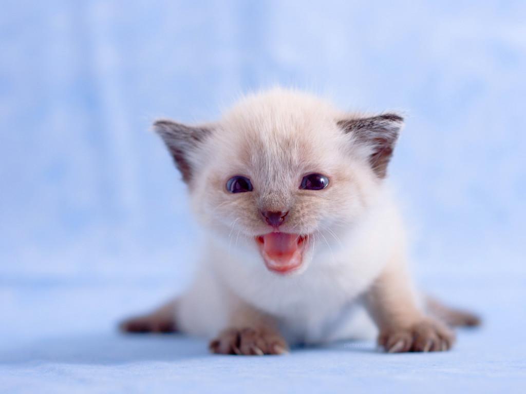 >> صور قطط << تبع المسابقه << Animals_Cats_White_kitte.jpg