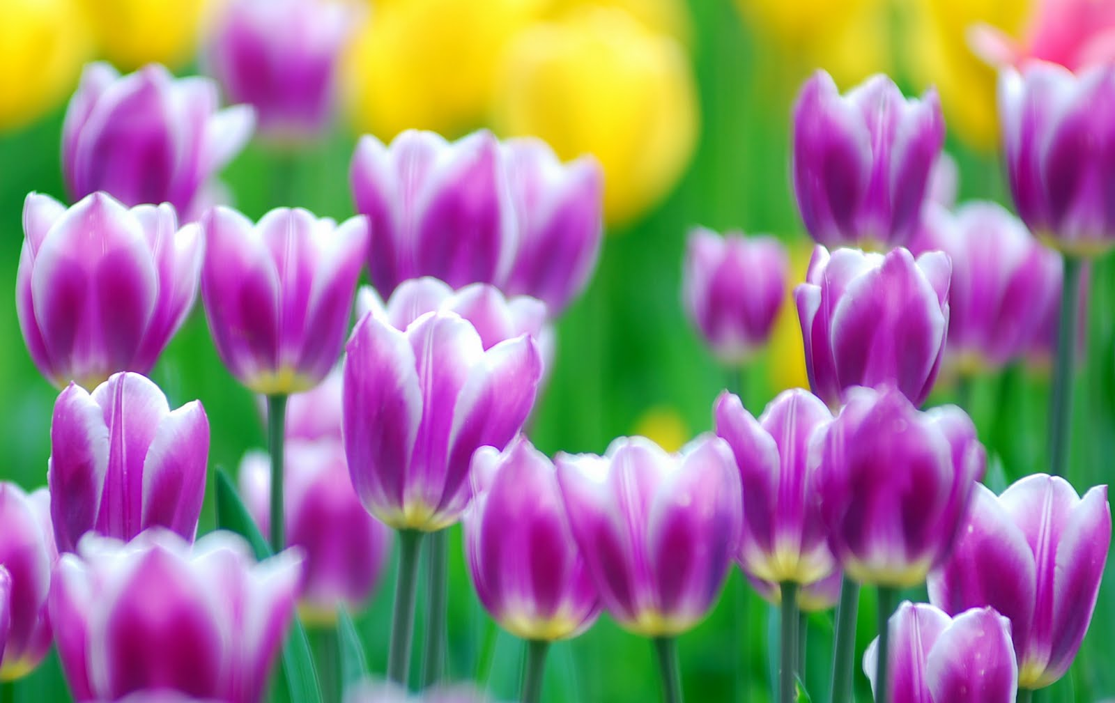 Tulips flowers wallpapers tulips images tulips pictures Beautiful flowers images