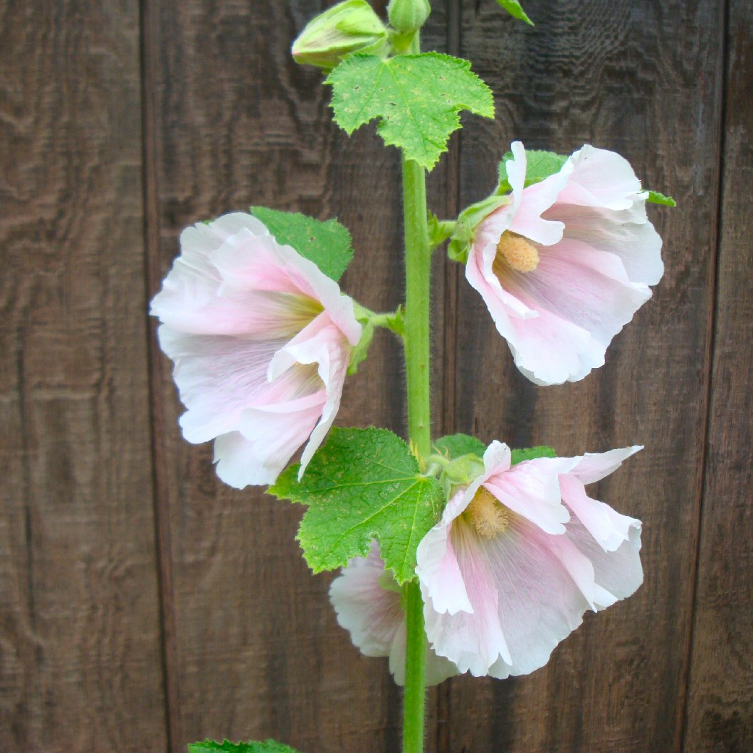heirloom old fashioned pink hollyhocks photo image