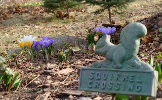 squirrel crossing crocus