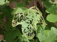 lacy hollyhock leaf