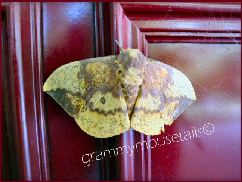 _imperial_moth
