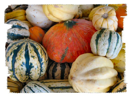 ornamental squash photo image