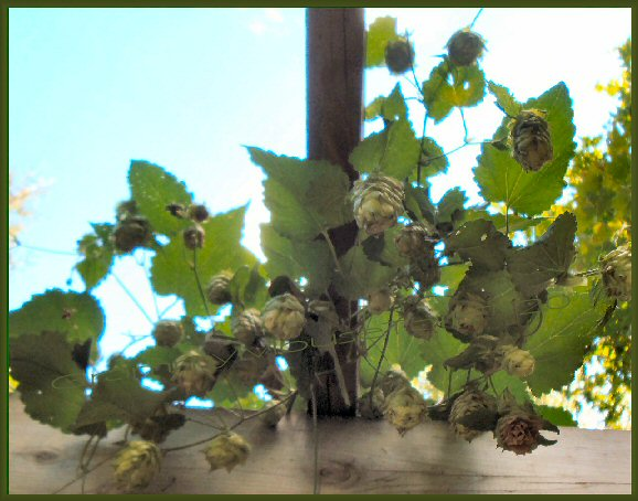 hops cones hanging off trellis- ready to pick hops photo