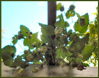 hops growing on trellis green and ripe photo image