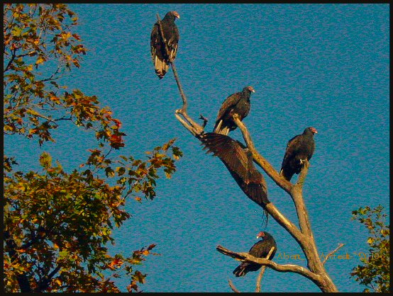 turkey vultures spooky image photo
