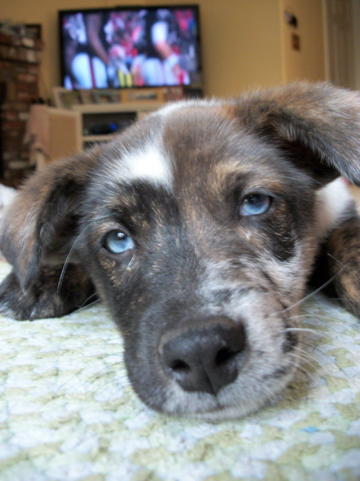 Australian Shepherd Lab Mix
