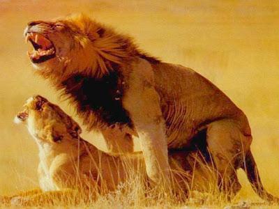 Homem Solteiro: leão e leoa se divertem ao ar livre.