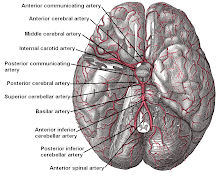 Arteries of the Brain from Base