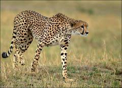 East African (Ethiopian Cheetah)