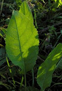 Costmary leaves