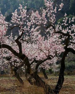 Flower Almond Tree Photo
