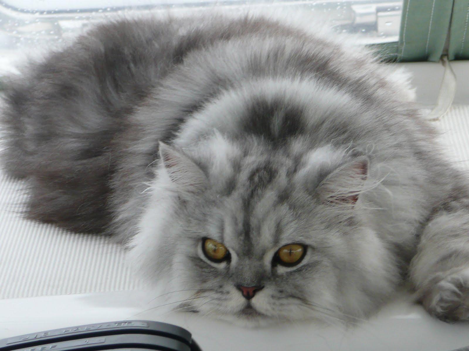 Grey Short Haired Big Dog