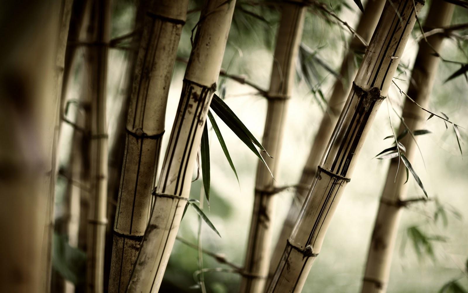 http://3.bp.blogspot.com/_KPaym_QzA1Y/TVJib3vJ2EI/AAAAAAAAADM/X99haAq7CNg/s1600/Japan-Bamboo.jpg