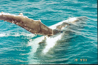 Whale And Barnacles Commensalism