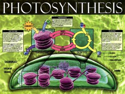 http://3.bp.blogspot.com/_KRjpAIfD4Kk/S8hIBHPACVI/AAAAAAAAABA/trDWK7dfDp0/s1600/03-ps05-8photosynthesis-posters.jpg