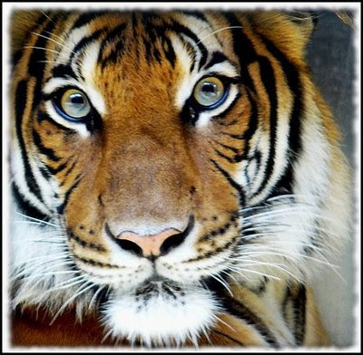 Fotografía de tigre