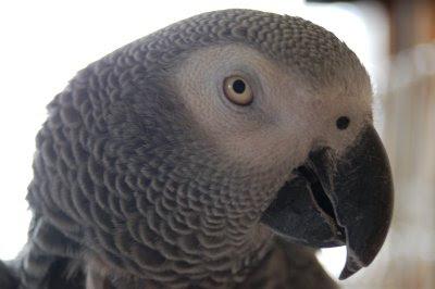 African grey parrot portrait
