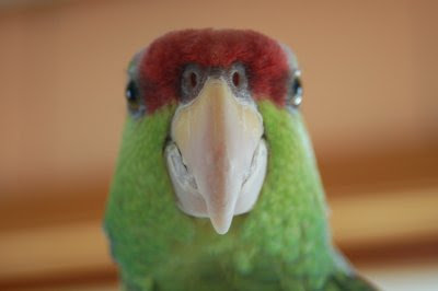 Amazon parrot portrait
