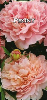 Pink peony, Sarah Bernhardt