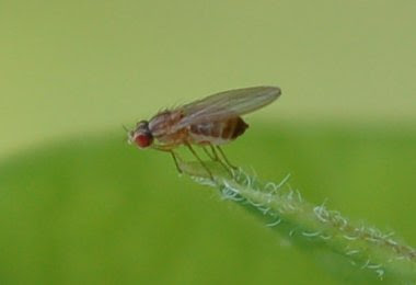 drosophilid fly