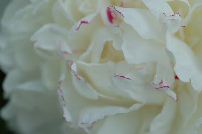Peony pink-edged petals