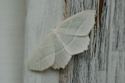 Pale moth