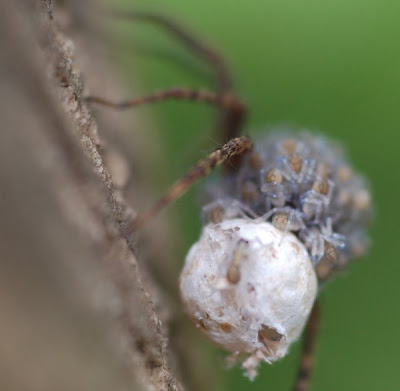 Wolf spider egg case
