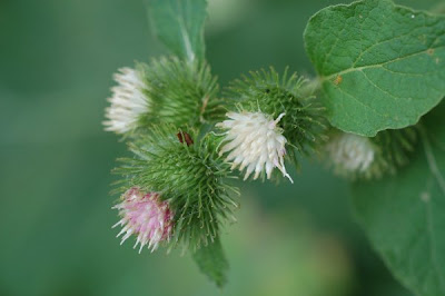 Burdock blossoms