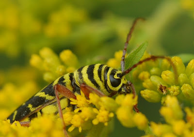 Locust Borer adult feeding on goldenrod flowers