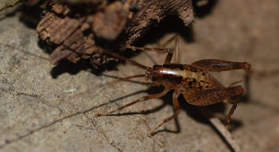 Jerusalem cricket, under a rock