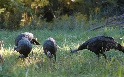Turkeys at sundown