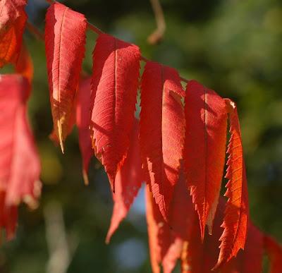 Red sumac leaf