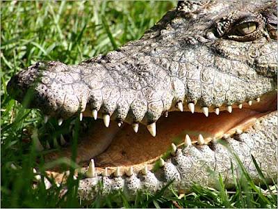 حديقة حيوانات المركز الدولى  - صفحة 5 Croc_runs_large_thumb