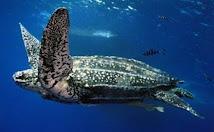 Leatherback  (Tinglar)  Festival