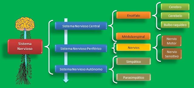 Bases Biológicas de la Psicología: Anatomía del Sistema Nervioso