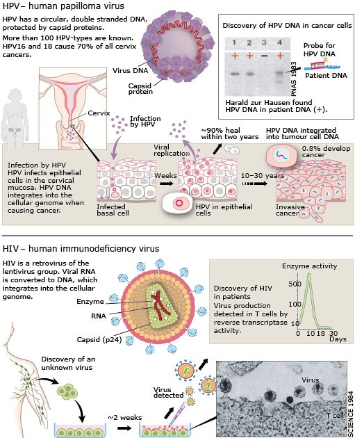 how hiv is transmitted sexually