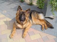 Dit is onze Duitse Herder