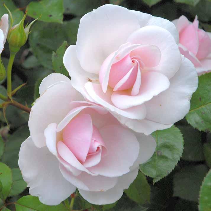 Lylou anne collection rose jardin de granville for Jardin roses