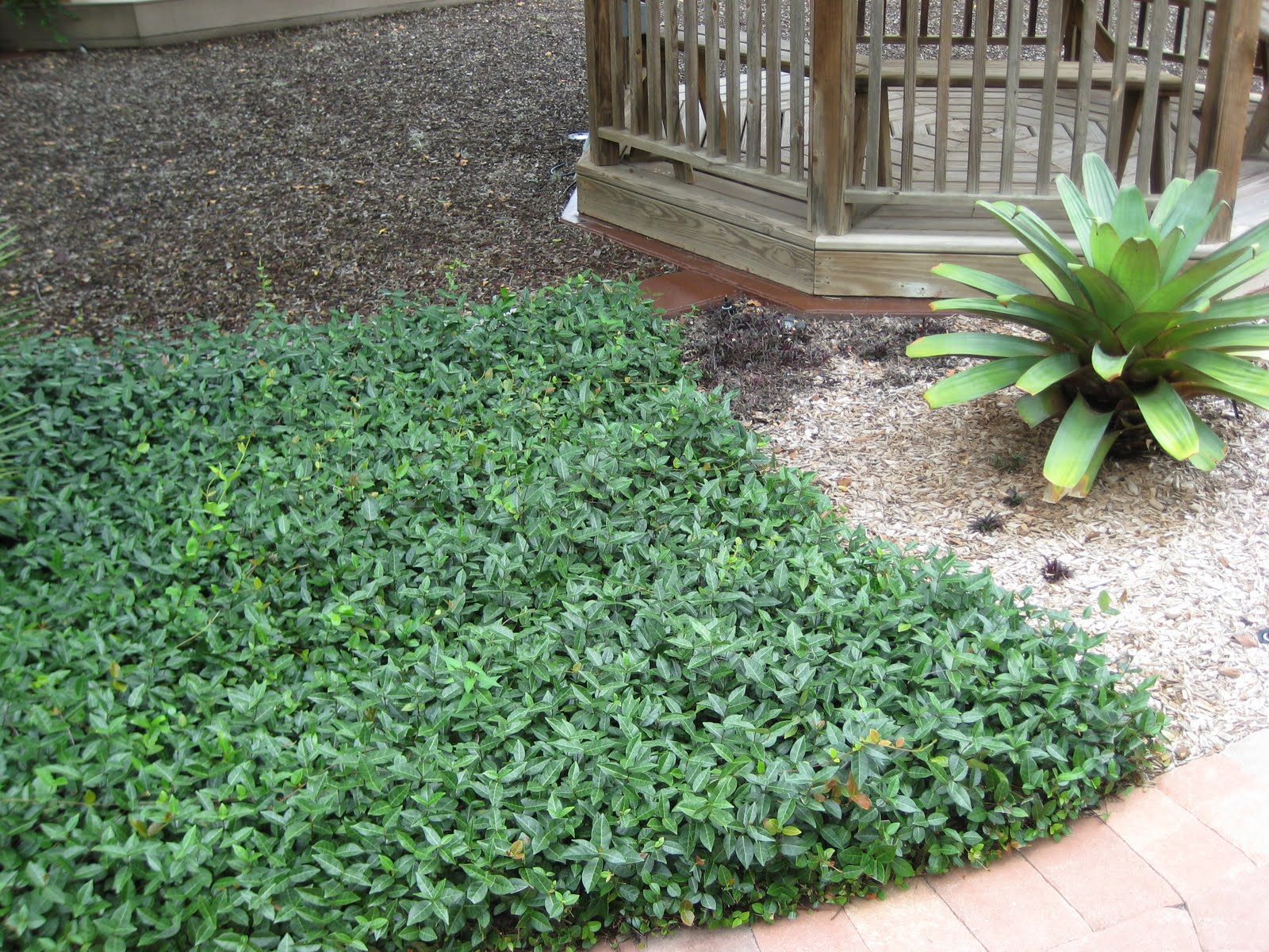 Jasmine ground cover for Plants full sun low maintenance