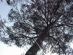 otro eucalipto