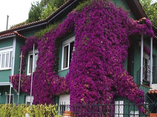 Enredaderas o trepadoras para cubrir pared en jardin for Matas de jardin