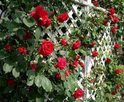 Enredaderas o trepadoras para cubrir pared en jardin - Plantas trepadoras de sol ...