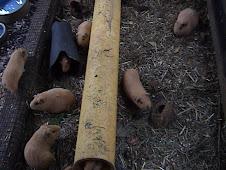 Blonde Guinea Pig Strain