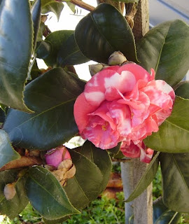 A pink and white camellia flower. Probably a camellia japonica, but I'm no expert.