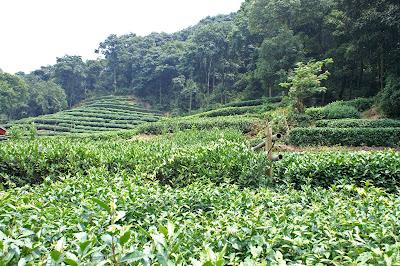 plantación de té verde